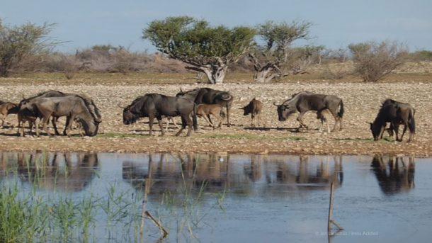 Wasserloch in Namibia mit frei lebenden Gnus.